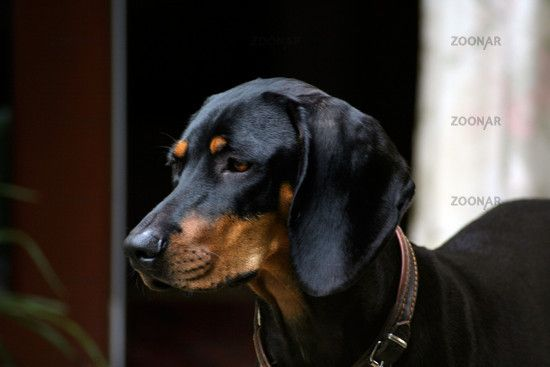 Austrian Black And Tan Hound Osterreichische Glatthaarige Bracke Vieraugl Brandlbracke Dogs Puppy Mit Bildern Black And Tan Dobermann Hunde