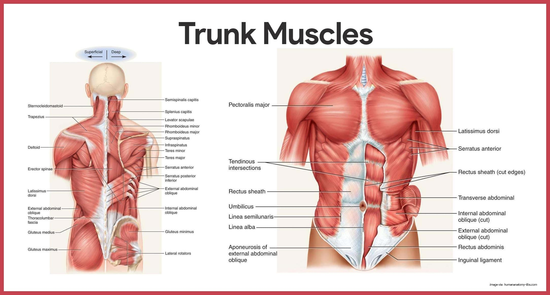 Image Result For Muscles Of Abdomen