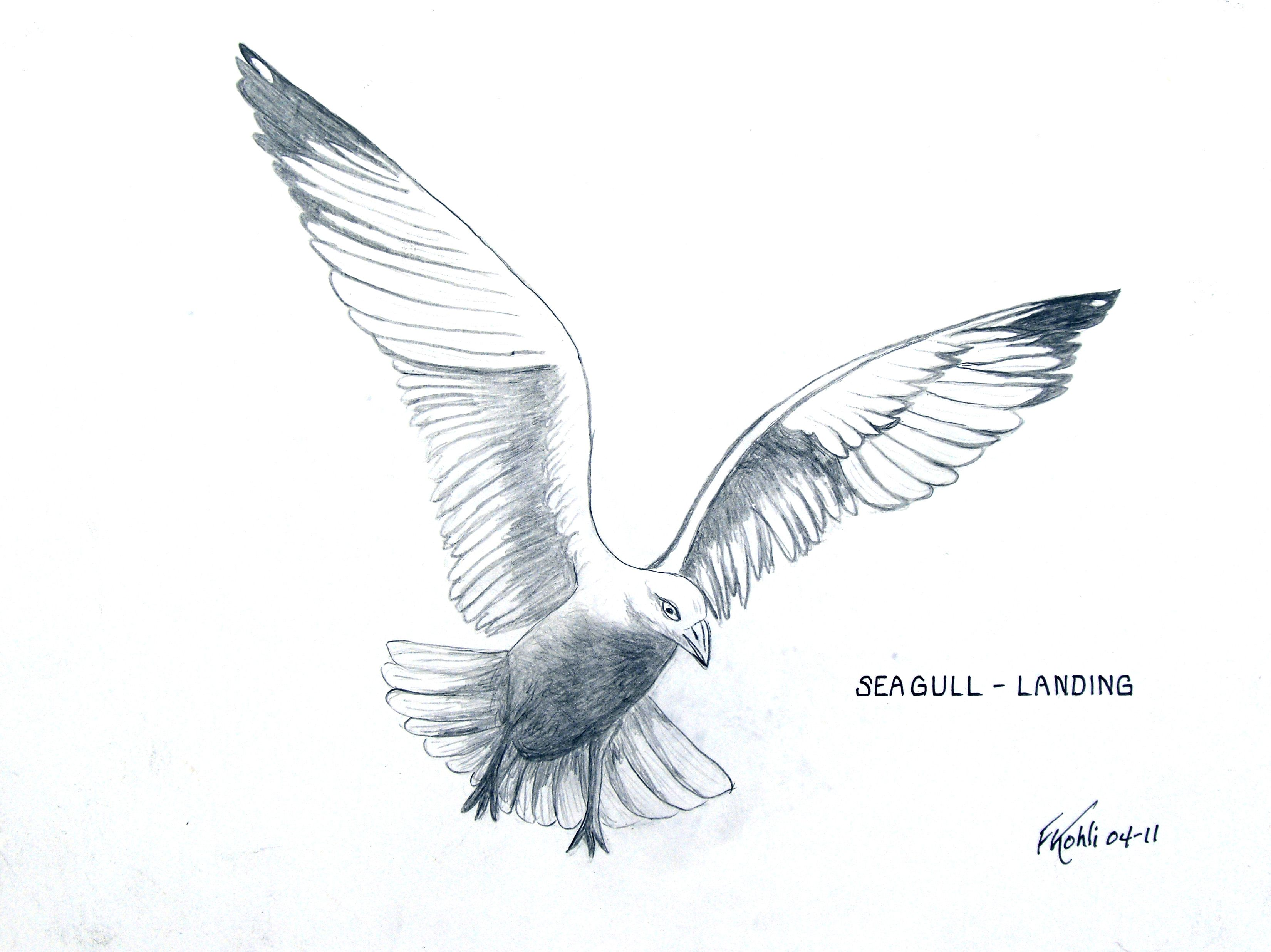 pencil drawing of a seagull landing