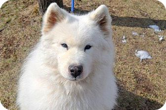 Newyork Warlock A0992413 Is A Samoyed Mix In Need Of A Loving Adopter Rescue At Animal Care Control Of New Pets Dog Adoption Pet Adoption