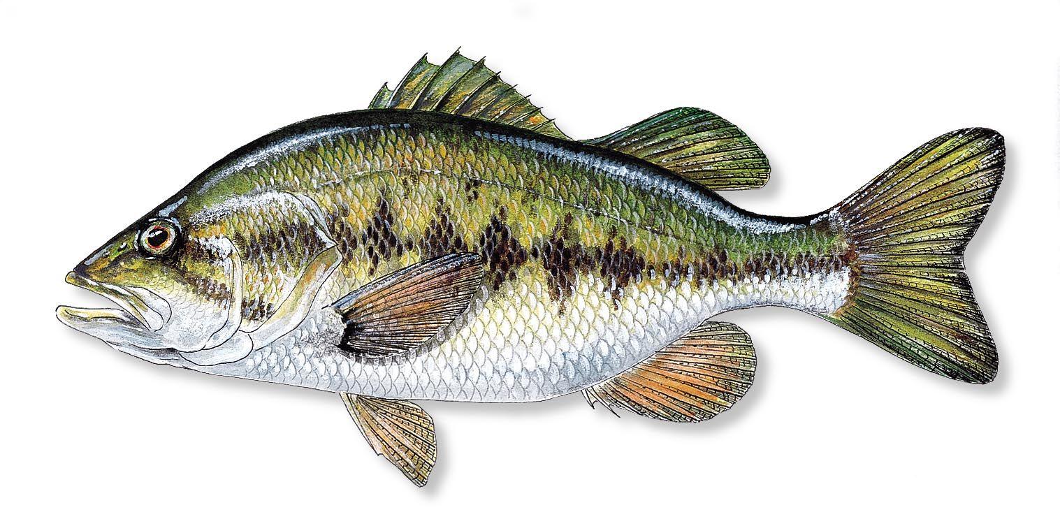 Largemouth bass pics — img 9