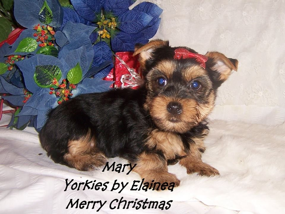 Tiny Yorkie Puppy For Sale In Arkansas Yorkie Puppy Yorkie Puppy For Sale Yorkie