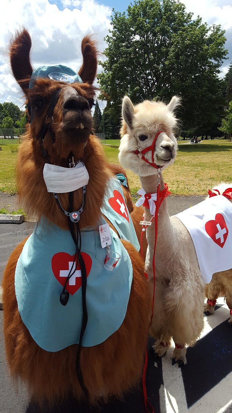 Dr Rojo The Llama Nurse Napoleon The Alpaca WwwRojoTheLlama - If you hate humans you can now invite llamas to your wedding instead