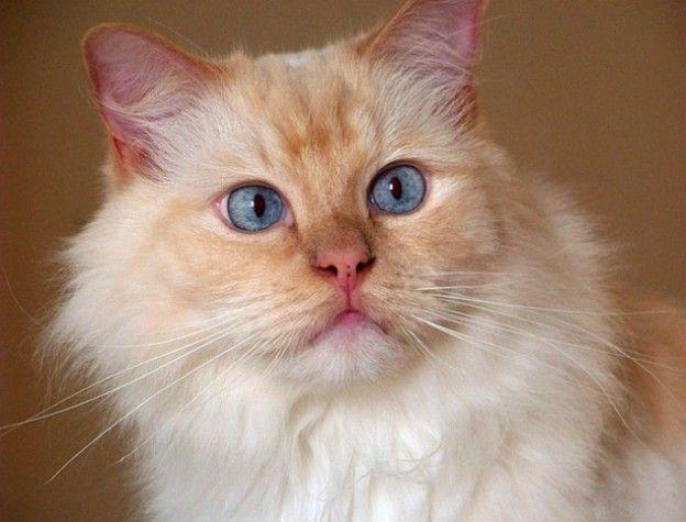 Ragdoll Ragdoll Cat Gorgeous Cats Ragdoll