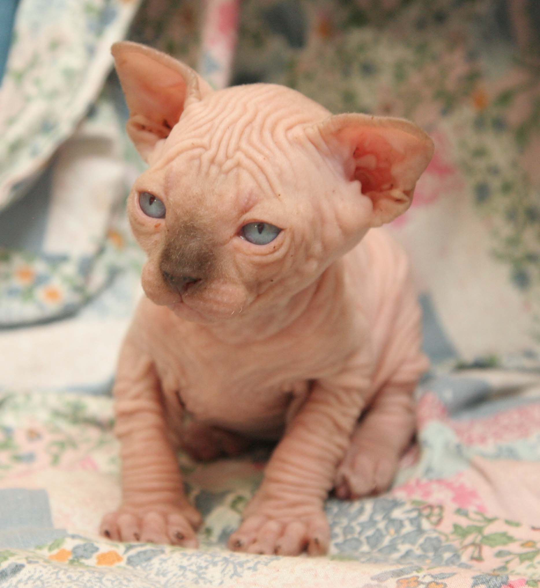 Sphynx Cats For Sale Near Boise In 2020 Hairless Cats For Sale Sphynx Kittens For Sale Baby Hairless Cat
