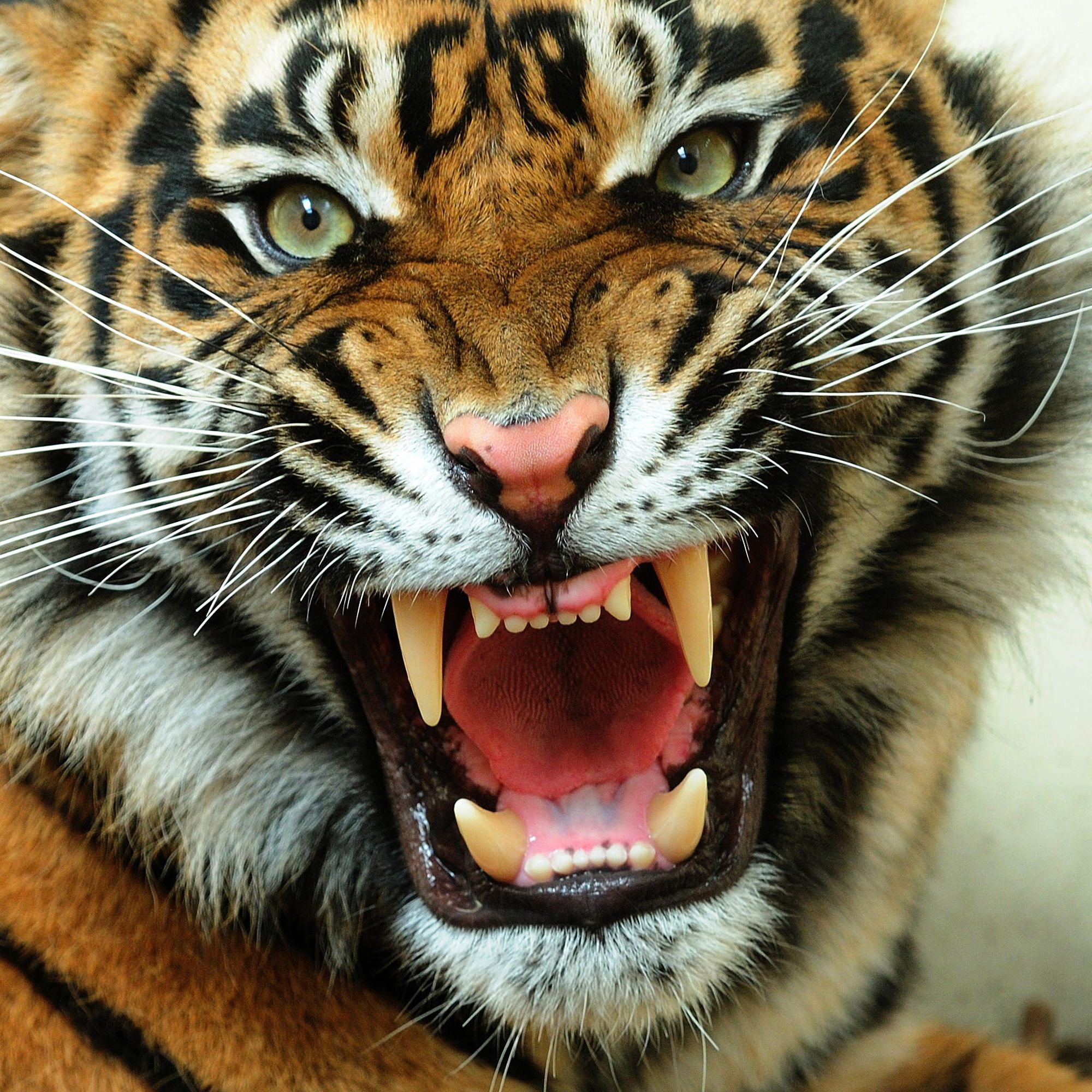 angry tiger photos - photo #3