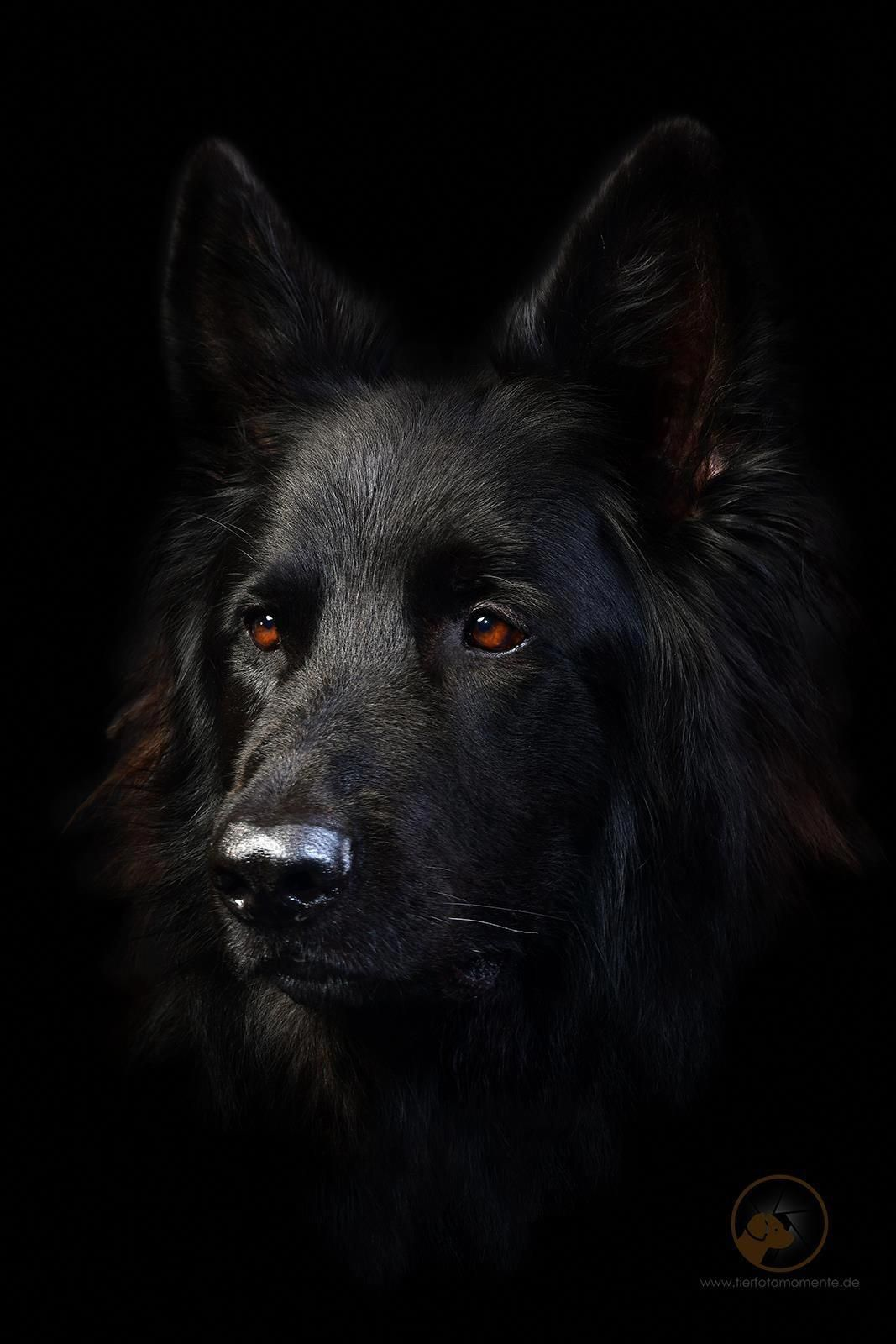 They Re Literally All Over Most Likely Due To The Fact That They Are Two Of The Most P Black German Shepherd Black German Shepherd Dog German Shepherd Puppies