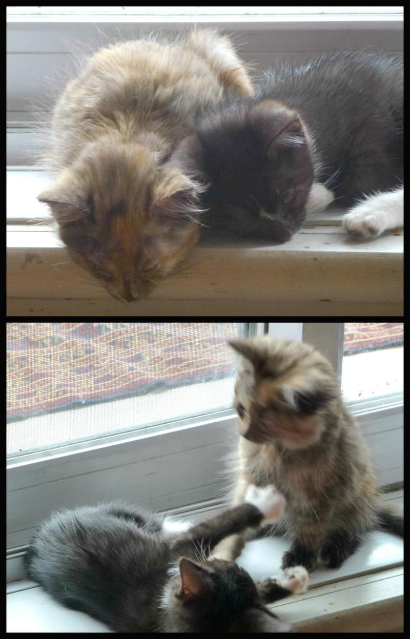 Adopt A21419603 Begonia Foster On Long Haired Cats Cat Rescue Cats