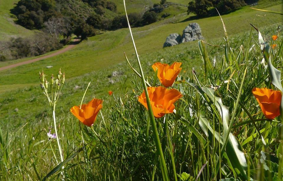 California poppies California poppy, California