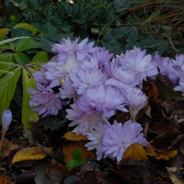 Double Colchicum Collection (10 bulbs) - Jacques Amand Intl