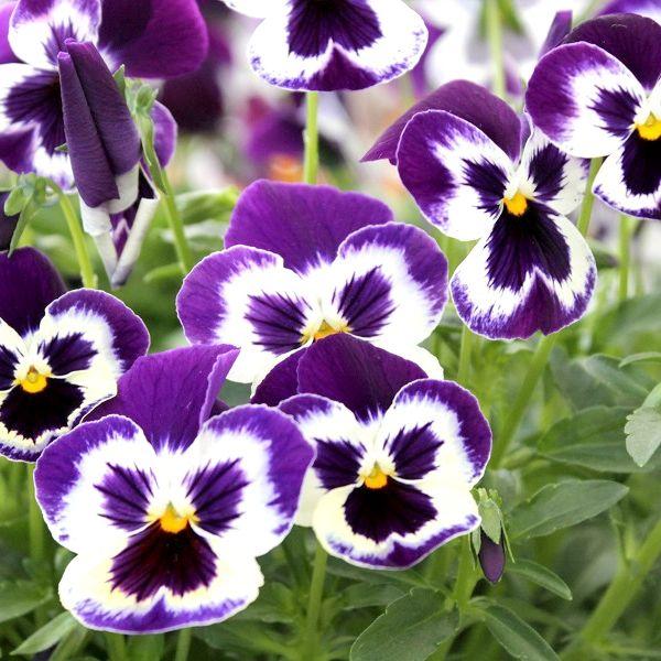4 Reasons To Plant Your Pansies Early Pansies Flowers Pansies Edible Flowers