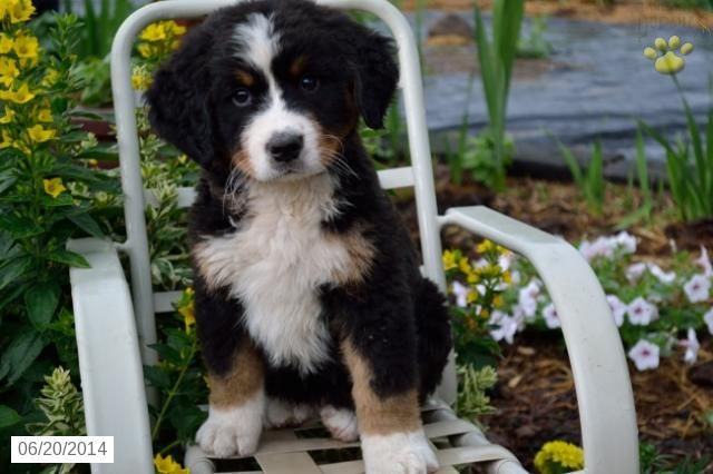 Nick Bernese Mountain Dog Puppy For Sale In Greensfork In Bernese Mountain Dog Puppy Puppies For Sale Bernese Mountain Dog