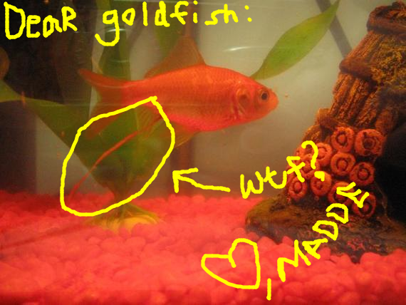 healthy goldfish poo healthy poo is solid and dark when seen from