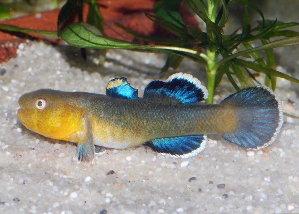 Chlamydogobius eremius | Fish, Aquarium fish, Freshwater ...