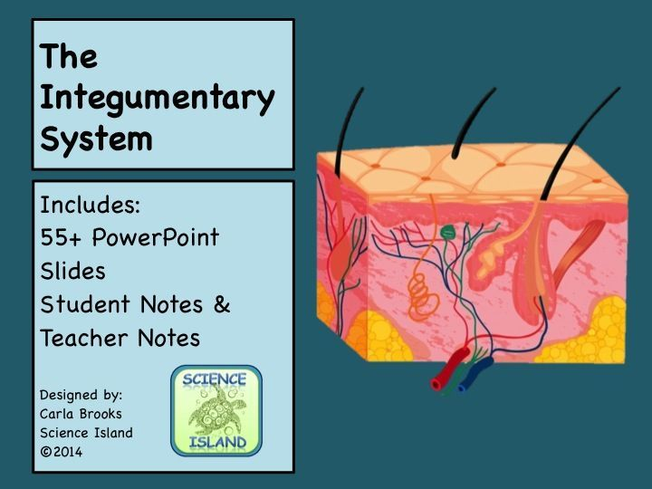2bf8b65558c358128e1c6ca355bb984d integumentary system powerpoint lesson and notes skin power point