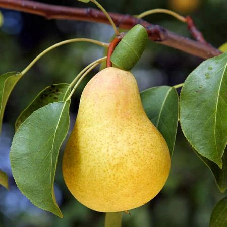Pin On Fruit Trees
