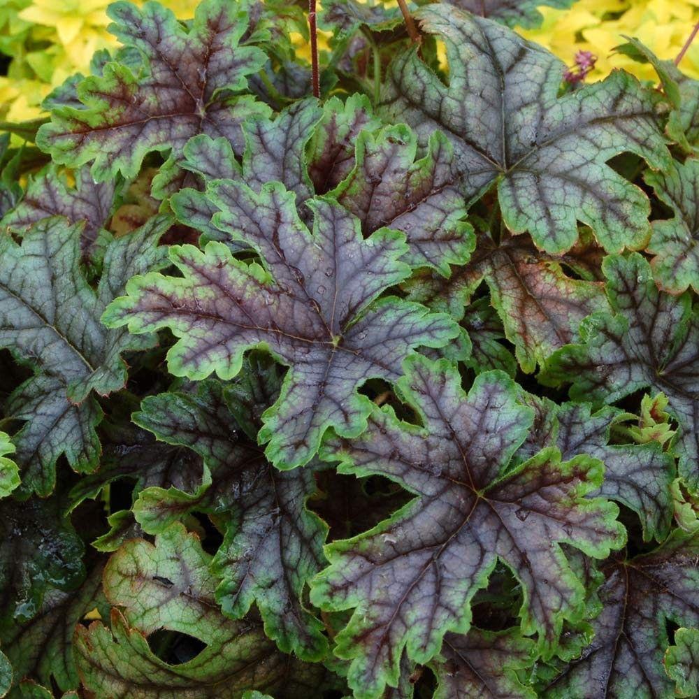Heucherella tapestry garden wishlist pinterest tapestry