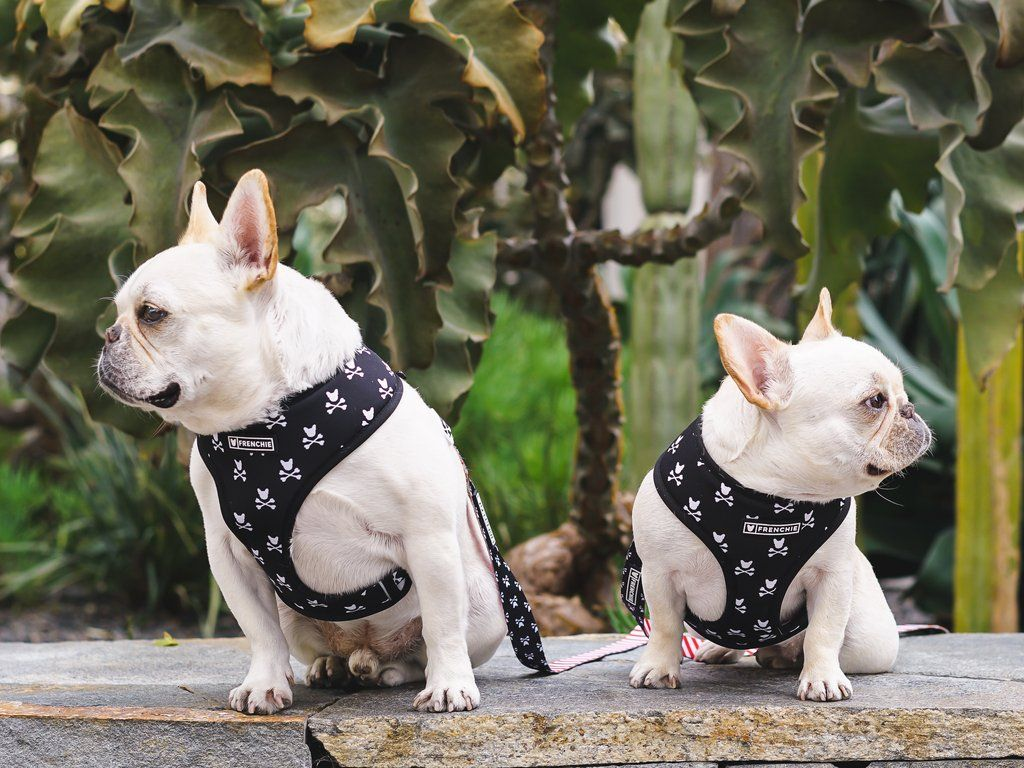 Frenchie Duo Reversible Harness Bad To The Bone (With