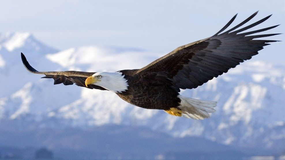 Eagle in flight | Adelaar, Roofvogels, Wolken