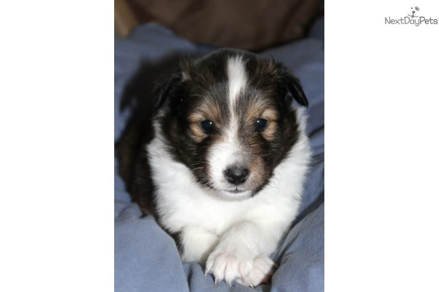 Meet Liberty A Cute Shetland Sheepdog Sheltie Puppy For Sale For 800 Dark Sable Male Sheltie Puppies For Sale Sheltie Puppy Puppies For Sale