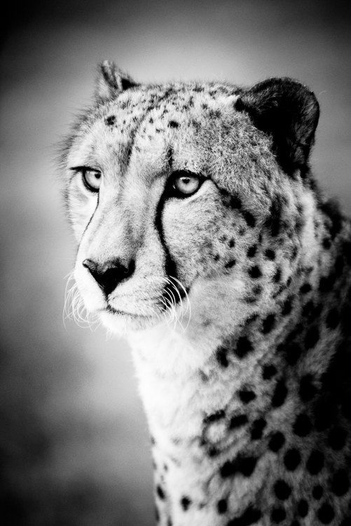 Cheetah Portrait Fine Art Photograph Cheetahs Wildlife Art - Breathtaking black and white animal portraits by lukas holas