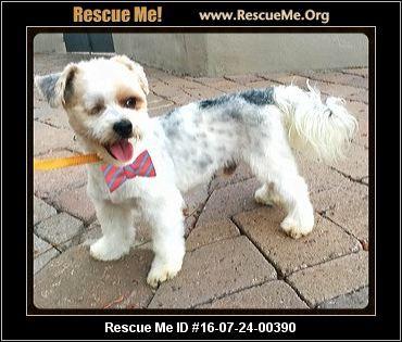 Arizona Maltese Rescue Adoptions Rescueme Org Dog Adoption Cat Adoption Pet Adoption