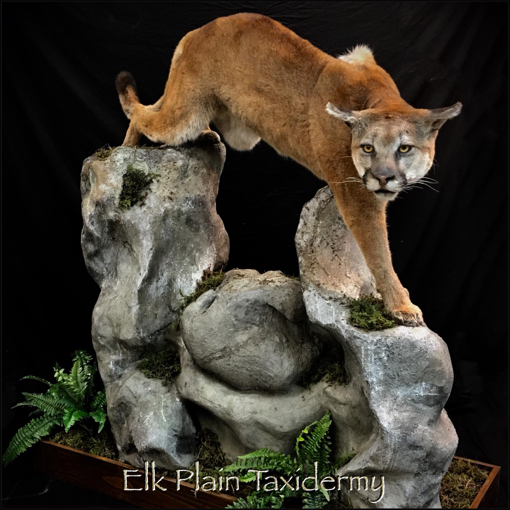 Lifesize Mountain Lion Floor Base With Customhabitat On Its Way Home Tonight Hunting Huntwashington Huntingwashingtonsta Mountain Lion Habitats Taxidermy