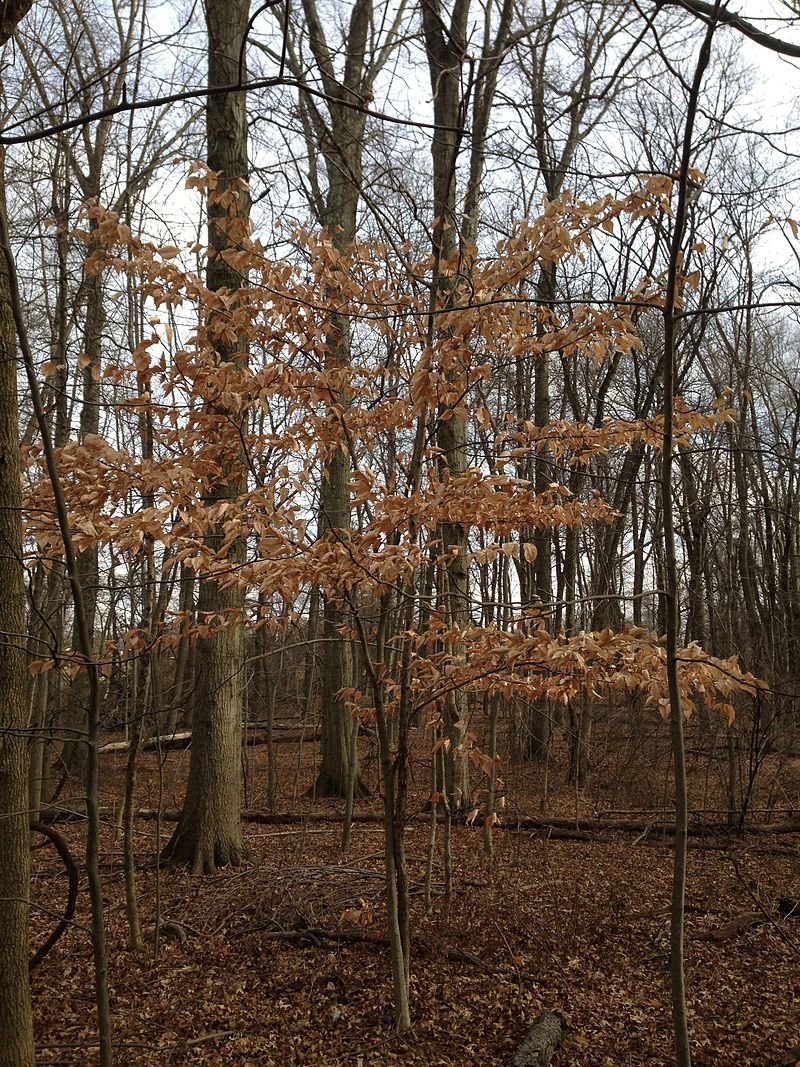 American Beech (Fagus grandifolia)  Marcescense is the term given to the retention of dead plant material that is normally shed in other trees. Certain species of trees held onto their dead leaves well into winter, Why some trees retain their dead leaves and others don't is not completely understood. Some theorize that it may help with predation so hungry herbivores (such as deer) chew on the hanging dead leaves while hopefully leaving the buds and twigs alone, but no one is really sure.