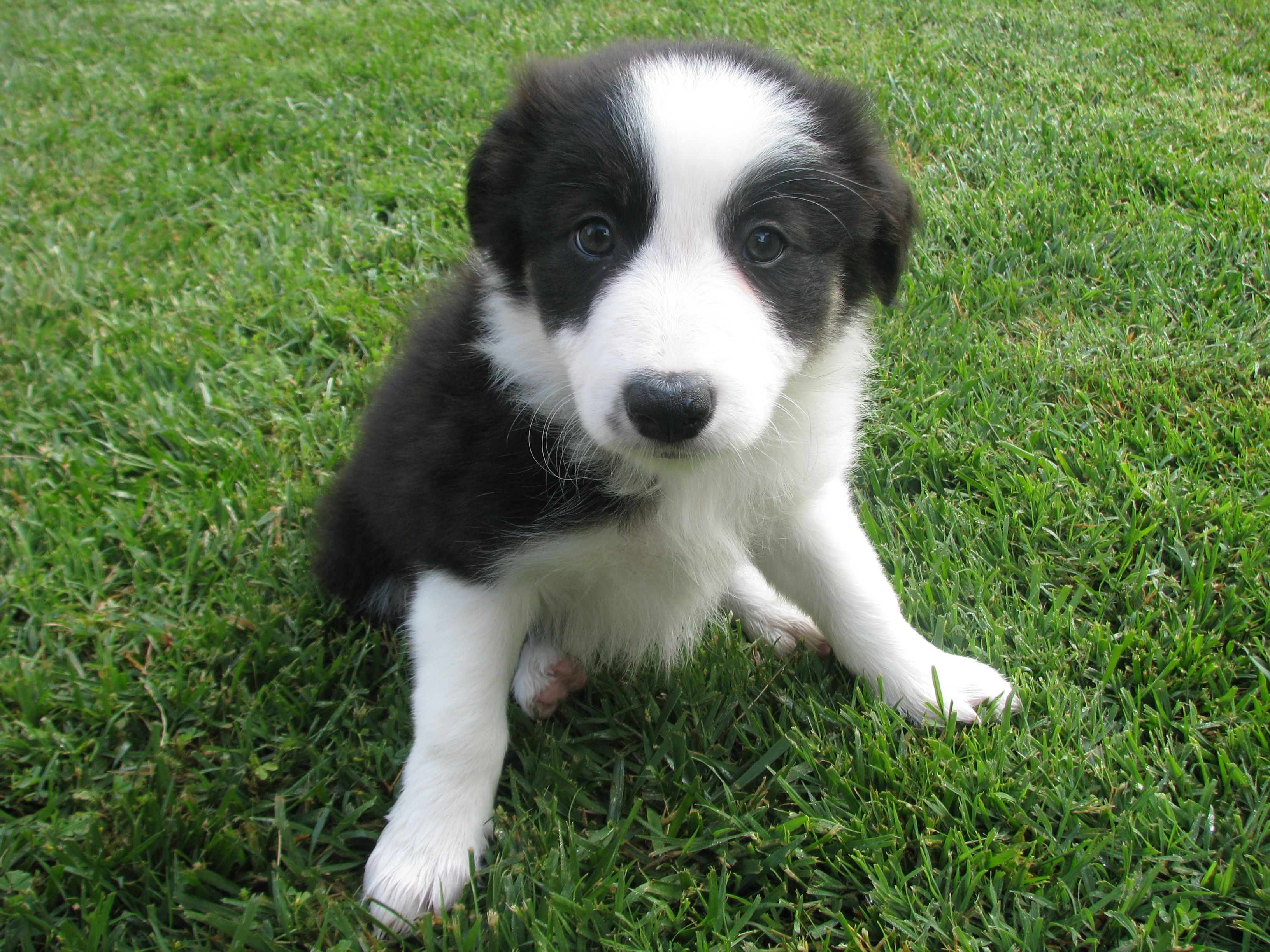 Another beautiful border collie puppy border collie