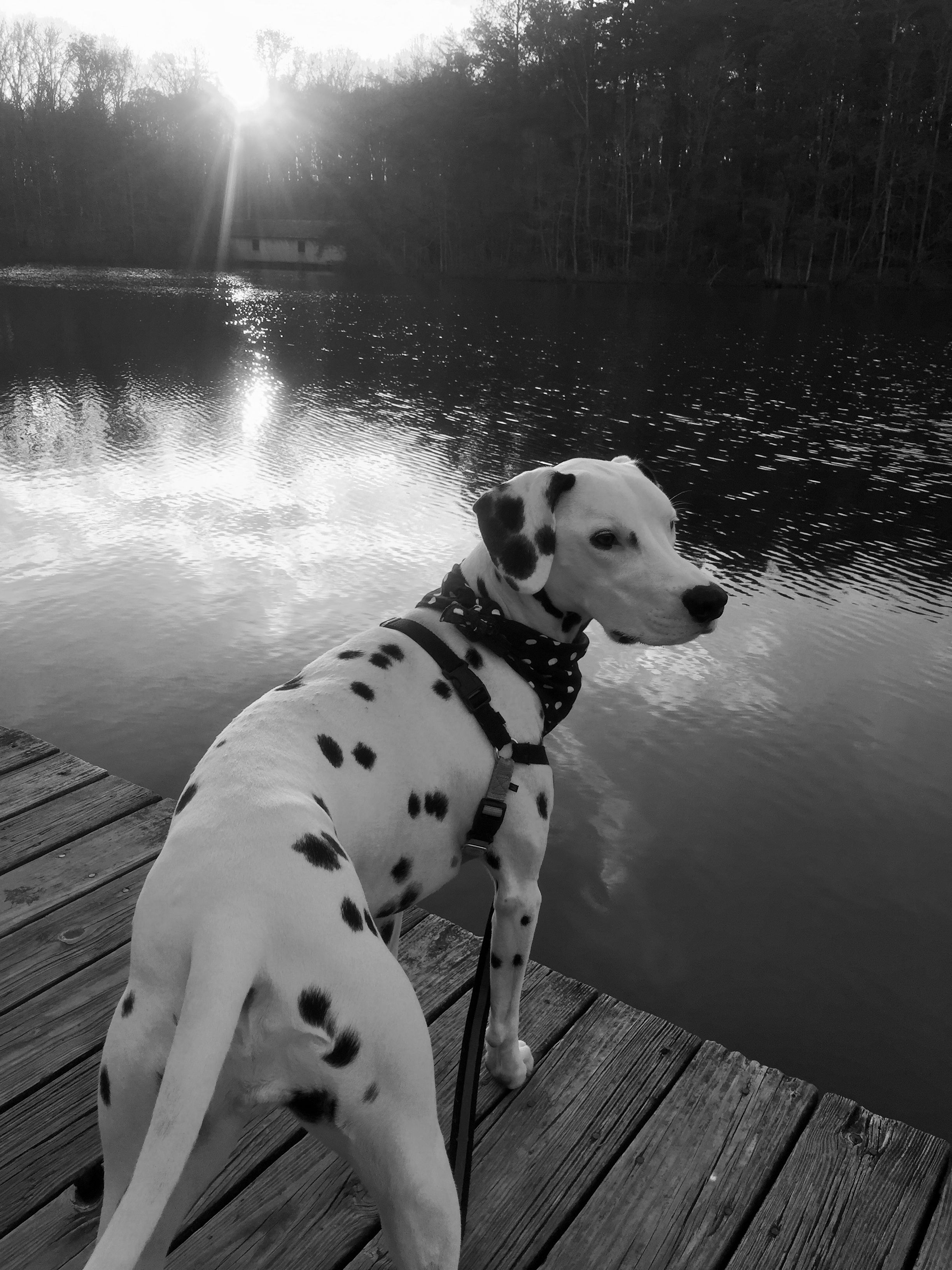 Dogs Image By Brittney North Dalmatian Animals Daisy