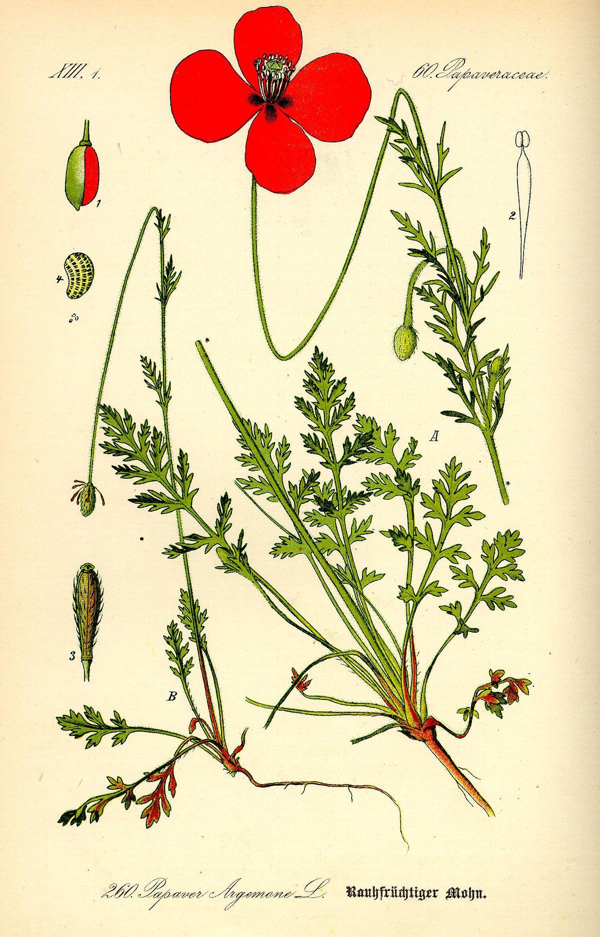 Mohn Wikipedia Mit Bildern Botanische Illustration Mohnblume Pflanzenzeichnung