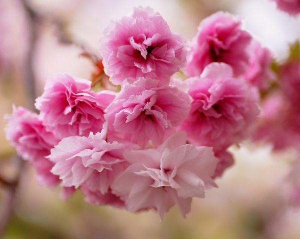 Цветы сакуры: нежность и красота | Природа | Цветы ...