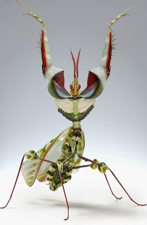 Idolomantis Diabolica With Images Beautiful Bugs Bugs And