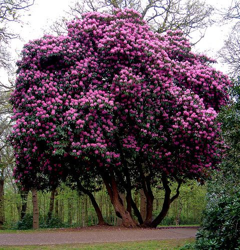 The Rhododendron Bush On Princes Drive Sandringham Known As The Seven Sisters Beautiful Gardens Flowering Trees Trees And Shrubs