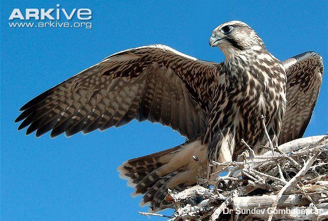 Female saker falcon fledgling at nest