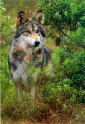 Wolves Of The World Texas Gray Wolf Canis Lupus Monstrablis Extinct Animals Animals Wild Dogs