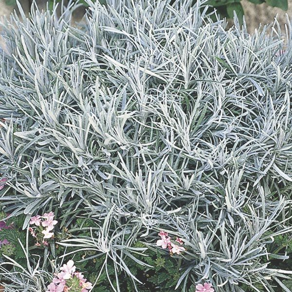 Icicle Plant Silver Spike Helichrysum Thianschanicum My