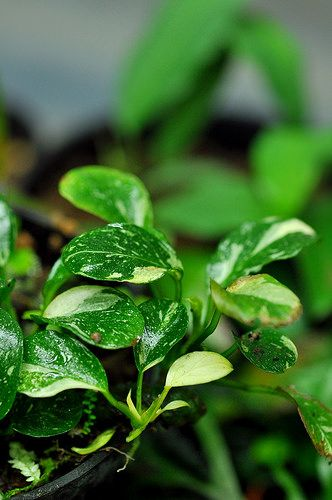 Anubias Nana Care Guide Propagation Planting And Optimal Conditions Plants Floating Plants Plant Care