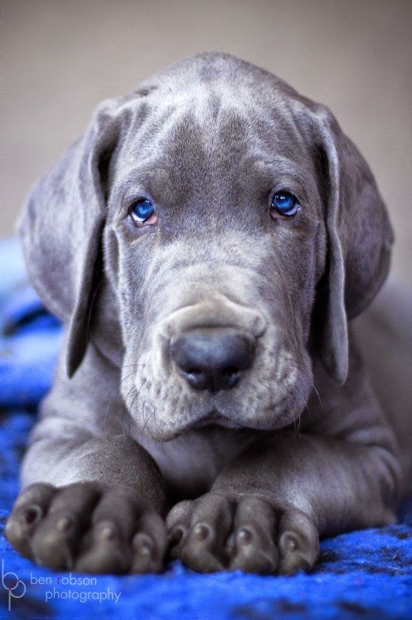 Gorgeous Dog Puppies Dane Puppies Great Dane Dogs
