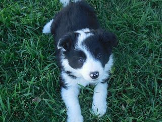 Rocky Mountain Border Collies Border Collie Dogs And Puppies Collie