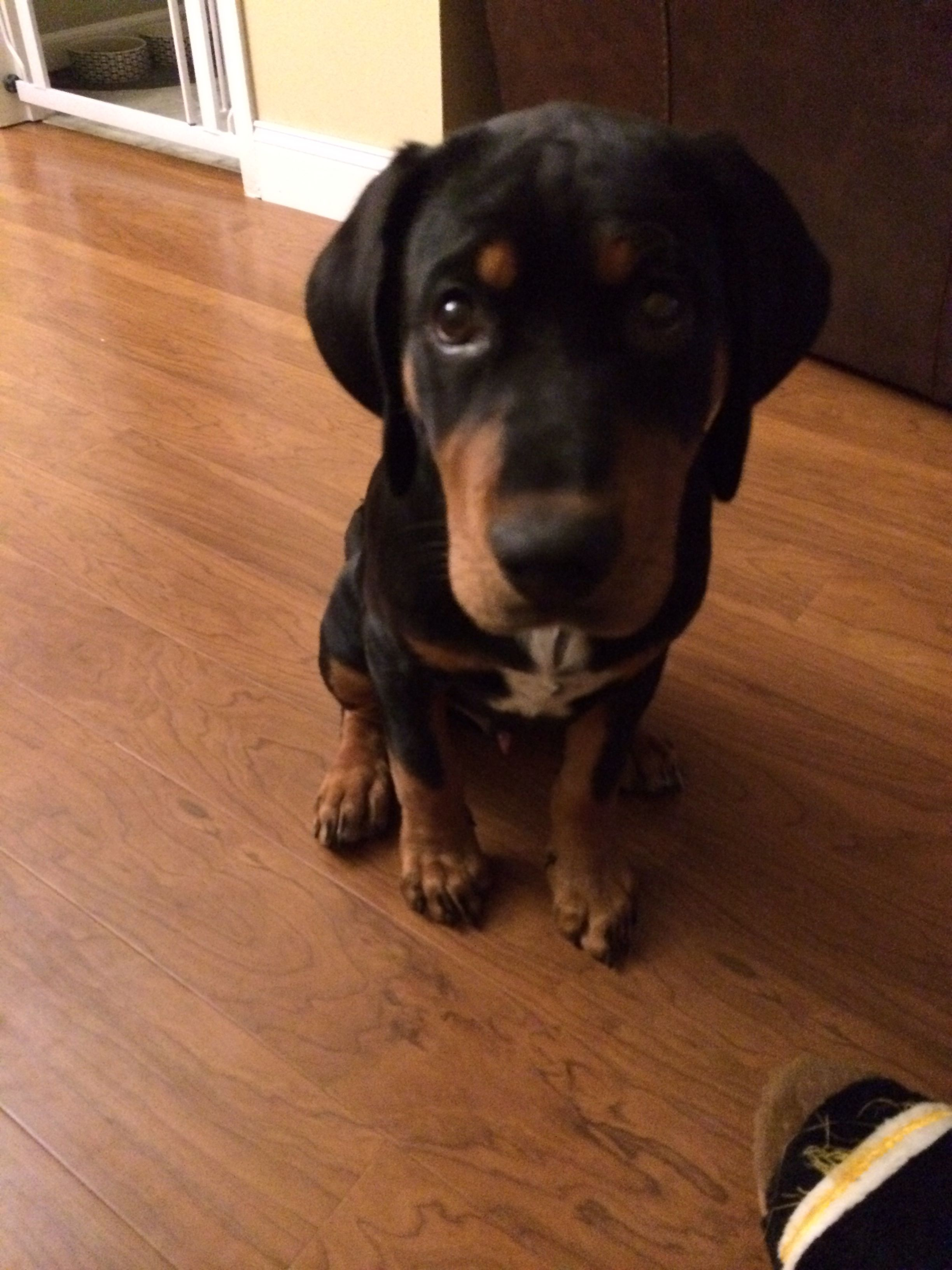 Coon Hound Lab Mix : hound, Boomer--our, Black, Coonhound, Puppy., Puppies,