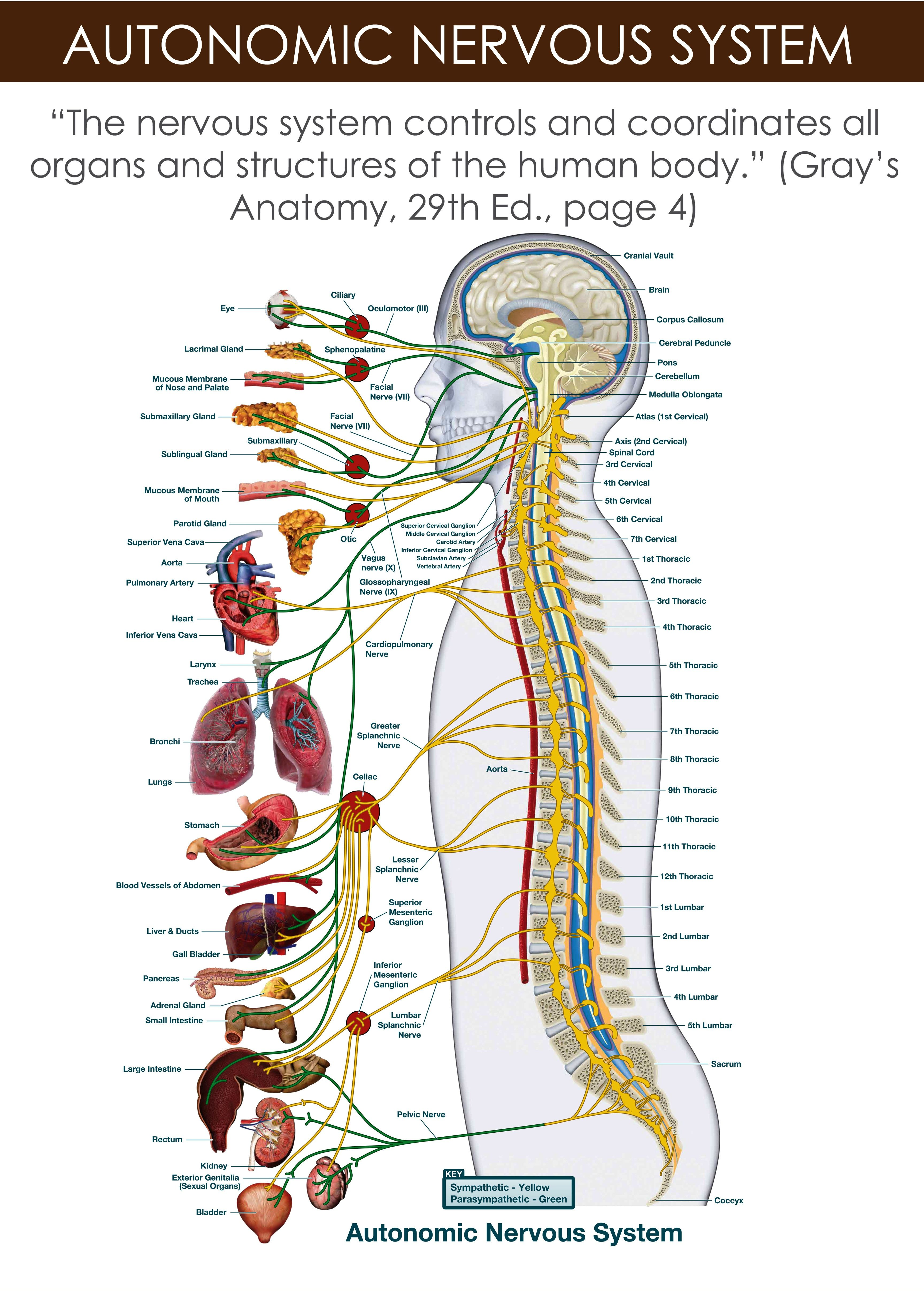 The autonomic nervous system is the part of the nervous system that ...