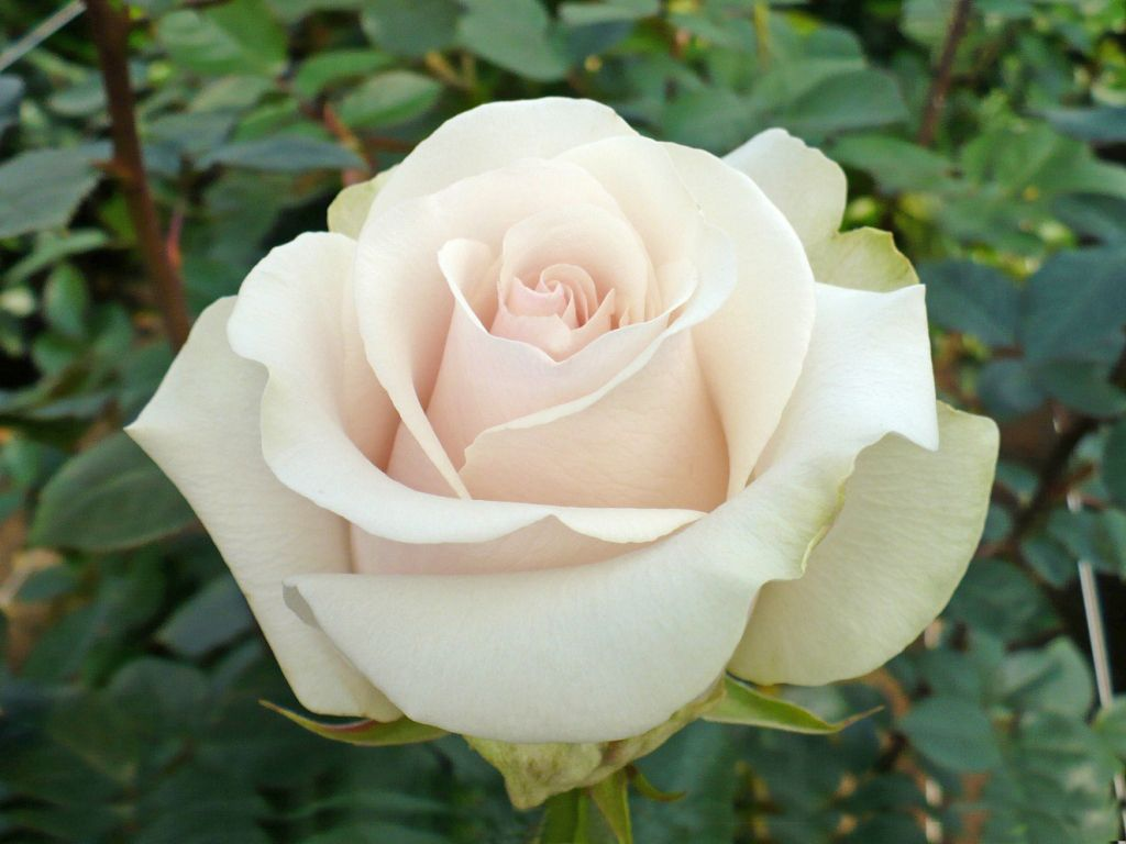 Amelia Is A Creamy White Rose And Is Popular For Weddings It Is