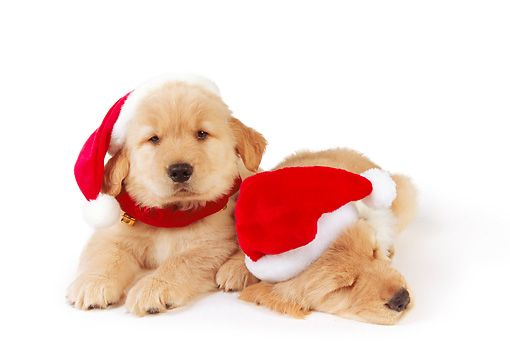 Golden Retriever puppies wearing a Santa hat. | Christmas hat, Christmas dog, Puppies