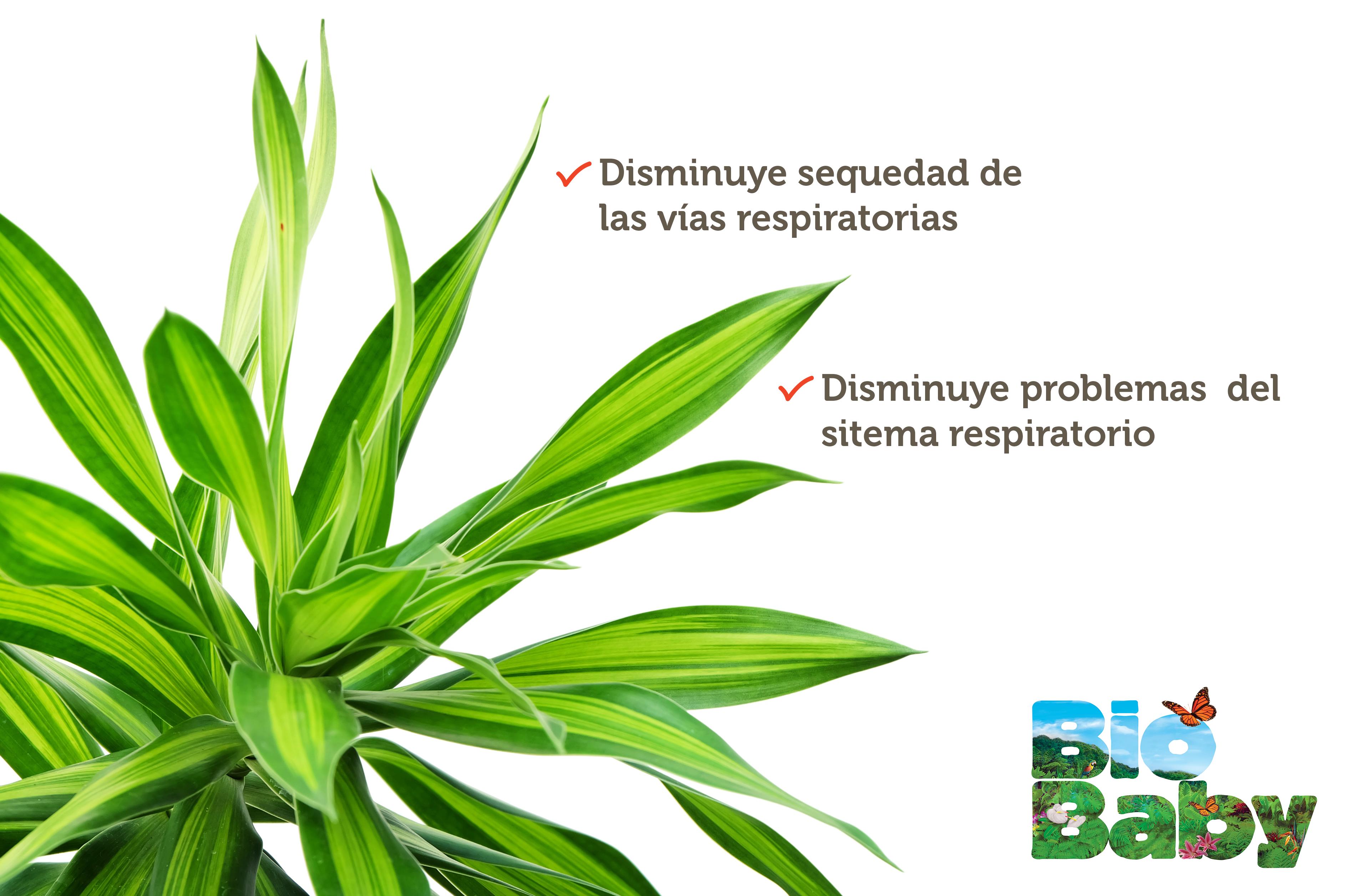 Sab As Que La Dracaena Tropical Ayuda A Humectar Levemente El  ~ Plantas Que Limpian El Ambiente