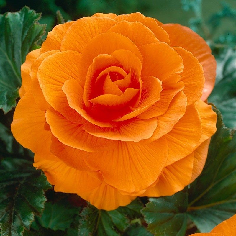Double Orange Begonia Shade Loving Flowers Begonia Tuberous Begonia