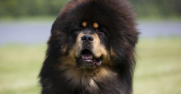 Dogue du TibeLes chiens les plus chers du monde, massivement abandonnést