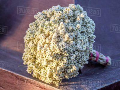 Inilah Gambar Bunga Edelweis Fakta Yang Unik Tentangnya 5