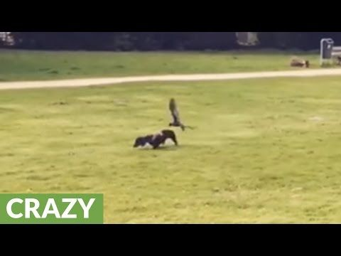 Crow attacks intruding dachshund http://www.lakatate.com/index.php/latest-videos/3548-crow-attacks-intruding-dachshund?utm_source=social&utm_medium=pin&utm_campaign=daily