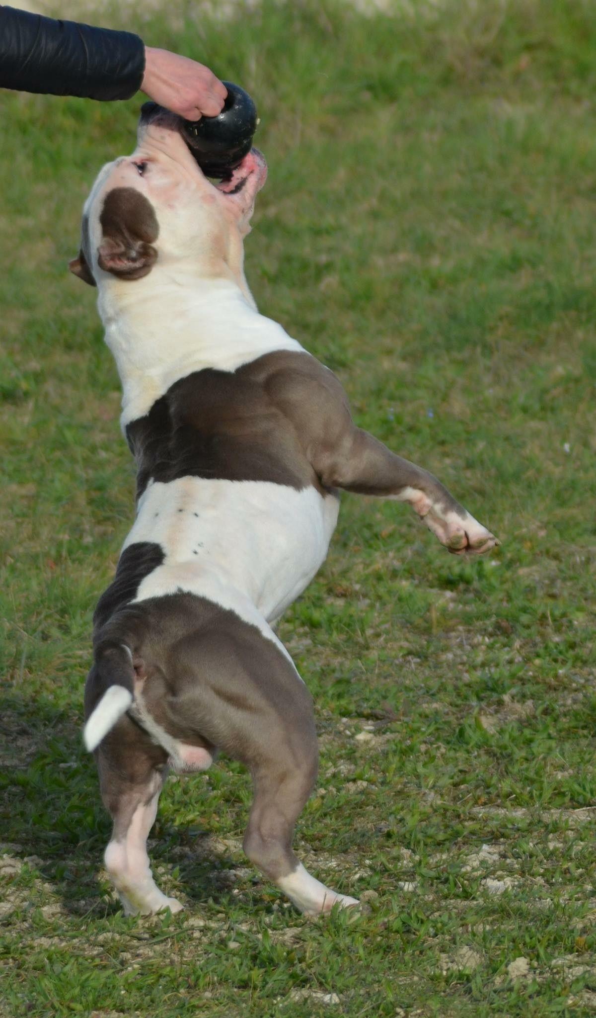 Très Chiot puppy puppies American bully XL XXL Bully Pitbull a vendre  HN59